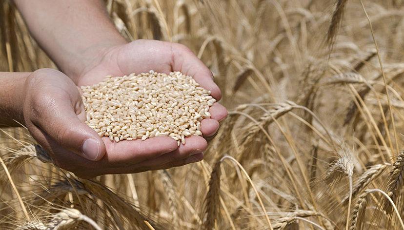 Hand mit Getreide